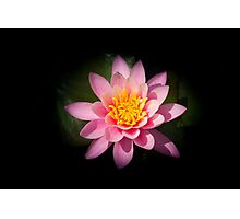 Pink lotus flower Photographic Print