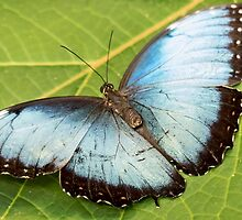 Blue Butterfly by Linda Gregory