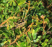 Grasshopper on a Plant by rhamm