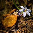 Blue-eyed Grass by Otto Danby II