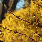 Late Day Sun on Forsythia by Linda  Makiej Photography