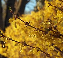 Late Day Sun on Forsythia by Linda  Makiej