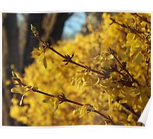 Late Day Sun on Forsythia Poster