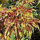 COLOURFUL CROTON by Margaret Stevens