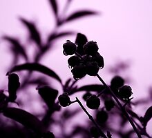 raindrops and hedge berries (purple) by dedmanshootn