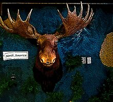 Moose Head by mrfriendly