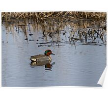 Drake Green-winged Teal 2 Poster