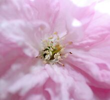 Cherry Blossom Flower Detail by Stuart Hogton