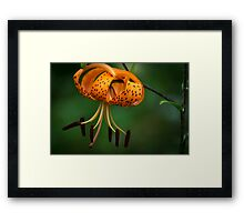 Tiger Lilly disguised as a Leopard Lilly Framed Print