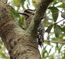 Woodpecker eating dinner by JSchettino22