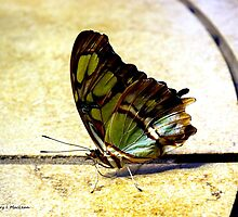 Malachite Butterfly by Kimmary