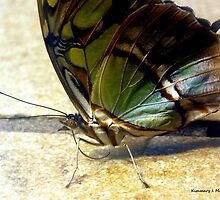 Malachite Butterfly 2 by Kimmary
