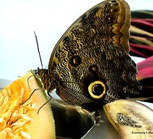 Owl Eye Butterfly by Kimmary