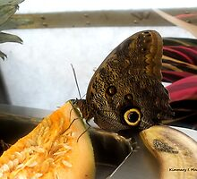 Owl Eye Butterfly 2 by Kimmary