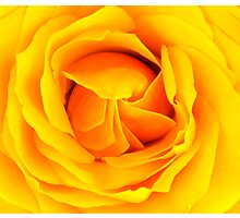 Yellow rose by Arve Bettum