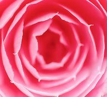 Pink Rose Macro by MMPhotographyUK