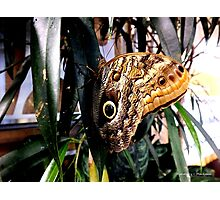 Owl Eye Butterfly On A Leaf Photographic Print