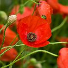 wild red poppies by jacqi