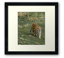 Tiger Walk Framed Print
