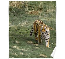 Tiger Walk Poster