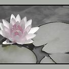 Toned Water Lily by Rosalie Scanlon