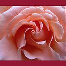 Gorgeous Pink Rose Center by Pat Yager