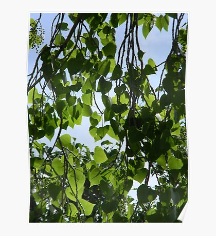 "Cottonwood Tree with ""Cotton"" Poster"