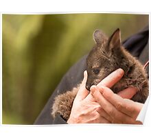 Orphaned Bennetts Wallaby Joey Poster