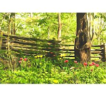 Impressions of Gardens - Colorful Tulips and a Rustic Fence Photographic Print