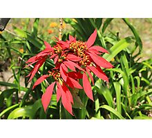 Red Poinsettia Flower Photographic Print