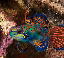 Mandarin Fish, Wakatobi National Park, Indonesia by Erik Schlogl