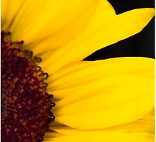 sunflower by picketty