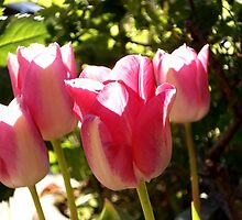 Tulips in Focus by IronHead42