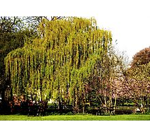 Wellhome Willow Photographic Print