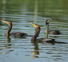 Neotropical Cormorants Swimming by rhamm