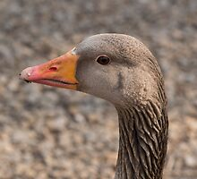 Greylag Goose by Robert Carr