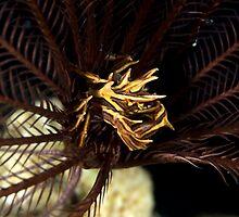 Feather Star Crab by Valerija S.  Vlasov
