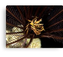 Feather Star Crab Canvas Print