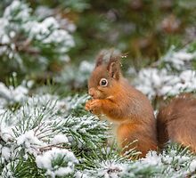 Red squirrel feeding in Winter by MichaelConrad