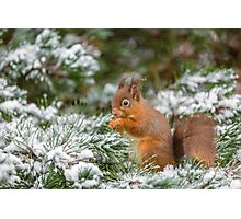 Red squirrel feeding in Winter Photographic Print