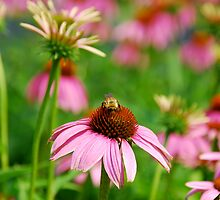 Bee on Pink Echinacea Flower by johnnycdesigns