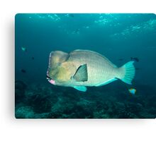 Humphead Canvas Print