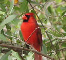 Regal Cardinal by JSchettino22