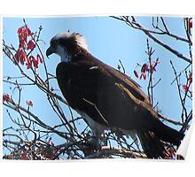 Osprey scanning for dinner Poster