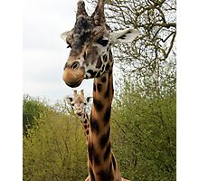 Two Headed Giraffe! Photographic Print