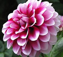 Dwarf Dahlia named Colima by JMcCombie