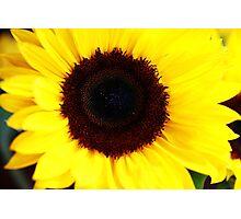 Simple Sunflower Photographic Print