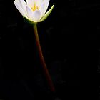 Water Lily White by Rosalie Scanlon