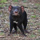 Tasmanian Devil (2) by Kayleigh Walmsley
