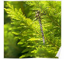 Dragonfly, resting. Poster